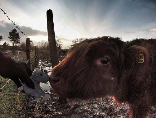 Ringo playtime #ringo #cow #adventuremascotte
