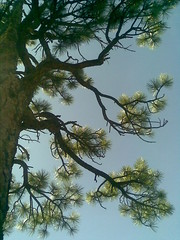 Evergreen Pinon (Sedona Clearing House) Tags: arizona sky southwest tree pine branches evergreen needles pinon pinion