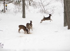 Feed the deer; keep the rhododendrons (*CA*) Tags: snow ct deer myfrontyard