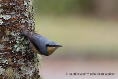 IMG_1901 (sullivan) Tags: nature animal taiwan sullivan  eurasiannuthatch  ef300mmf4lisusm     canoneos7d         adobephotoshoplightroom5 suhaocheng