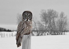 Great grey owl (Ron Gallagher Photography) Tags: ontario grey great greatgreyowl owl owls ont saultstemarie gardenriver