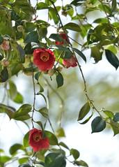 Camellia japonica (myu-myu) Tags: flower nature japan nikon camellia d800   camelliajaponica afsvrmicronikkor105mmf28g