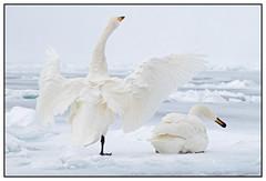 Wilde zwanen - Whooper swans (Cygnus cygnus) in Lake Kussharo, Hokkaido in Japan ... (Martha de Jong-Lantink) Tags: japan swan hokkaido 2015 whooperswan cygnuscygnus whooperswans wildezwaan lakekussharo wildezwanen squiver