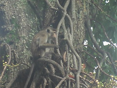 Macaques in Kandy