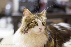 Twilight (miyukiz4 su ood) Tags: cat kitten gatto gatito chaton gattino gttino k littledoglaughedstories