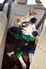 Cool Spanky?  Poor Spanky! (DiamondBonz) Tags: dog pet sweater cool goggles hound adorable whippet spanky