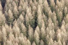 Larix Decidua (Aerial Photography) Tags: trees yellow by landscape la mood aerial gelb larch landschaft bäume deu stimmung conifer luftbild lärche luftaufnahme bayernbavaria deutschlandgermany nadelbaum ndb lurz fotoklausleidorfwwwleidorfde 14032009 rottenburgadlaaber pfeffenhausenlkrlandshut 1ds24935