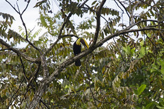 Ramphastos [ambiguus] swainsonii (chezposcar) Tags: trees wild tree bird animal animals forest toucan costarica rboles selva beak feather arbres bosque ave pico rbol pluma bec animaux arbre fort oiseaux plumes pjaro plume tucan sauvage plumas tucn chestnutmandibledtoucan ramphastosswainsonii blackmandibledtoucan toucandeswainson forts ramphastosambiguusswainsonii swainsonstoucan tucndepicocastao tucnpechigualdo chestnutmandibledswainsons