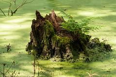 island in the sun (rooibusch) Tags: creek germany deutschland wasser bach tamron schatten brandenburg farn moos zweige grser halme briese birkenwerder entengrtze baumstumpf