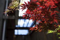 Translucent (Xiao-Bu) Tags: japanesemaple acerpalmatum ef35mmf14lusm toyamanishiki canon5dmarkii amagishigure