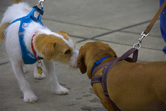 A Meeting Of The Noses (swong95765) Tags: dogs animal sniff greet cute small canine behavior greeting olfactory