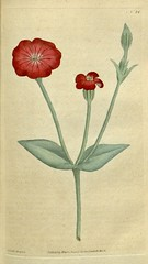 Silene coronaria [as Agrostemma coronaria]. Botanical Magazine, t. 1-36, vol. 1: t. 24 (1787) [J. Sowerby] (Swallowtail Garden Seeds) Tags: illustration drawing botanicalillustration vintage vintageillustration flowers flowerillustration flower 19thcentury 19thcenturyillustration 1787 18thcentury swallowtailgardenseeds publicdomain botanicalmagazine volume1 edwards sowerby curtis plant plants blooms blossoms