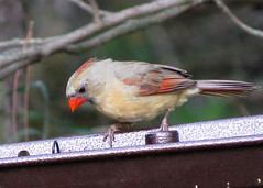 Northern Cardinal - female (Kelly Preheim) Tags: northern cardinal
