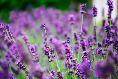 Lavender (Amren1985) Tags: lavendel lavender wasp wesp panasonic35100mmf28 gx7 panasonic bokeh micro four thirds summer insect insects purple flowers bloom nature natuur