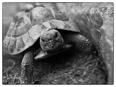 better run ;) (TorstenHein) Tags: animal zoo blackwhite turtle schwarzweiss hein opel schildkrte ricohgrii