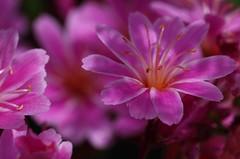 Blte (Klaus R. aus O.) Tags: plant blur flower garden star blossom pflanze gelb nectar pollen blume stern blte garten gentle nektar zart unschrfe zierpflanze