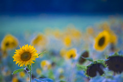 Sunflower in Blue Hour (FengboLi) Tags: northcarolina asheville biltmoreestate biltmore meadow bloom backlight sunlight sunset floral vibrant glow pedal fresh dreamy botanical closeup sunflower blue yellow gold dawn outdoor flower field background nature delicate blur macro soft