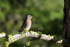 Western Bluebird Juvenile (brian.bemmels) Tags: sialia mexicana scaliamexicana western bluebird westernbluebird cleelum wa juvenile