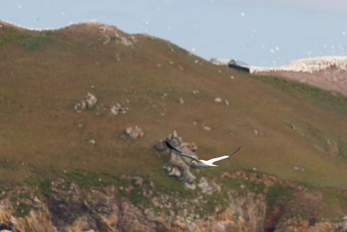 Fou de Bassan (Morus bassanus) à l'île Rouzic