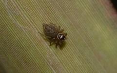 Hypoblemum villosum female (dustaway) Tags: arthropoda arachnida araneae araneomorphae salticidae euophryinae hypoblemum jumpingspiders australianspiders curriepark northlismore northernrivers nsw australia nature spinne