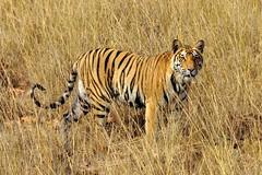 DSC_3548 (ajwhitehead1979) Tags: bengaltiger bhandavgarh india royalbengaltiger tiger