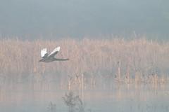 Black Swan and Fog (blachswan) Tags: fog australia victoria blackswan ballarat wetland birdinflight winterswamp mullahwallahwetlands