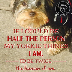 Always try to be the person your Yorkie thinks you are (itsayorkielife) Tags: yorkiememe yorkie yorkshireterrier quote