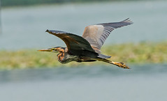 DSC2287 Purple Heron.. (jefflack Wildlife&Nature) Tags: purpleheron heron herons birds avian wildlife wildbirds waterbirds wetlands lakes countryside tuscany nature nf ngc npc