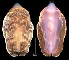 MOL_3901_A_muelleri_3901_01_524x459.gif (MaKuriwa) Tags: mollusca gastropoda nudibranchia armina arminidae