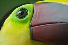 Chestnut-Mandibled Toucan (Daggormet) Tags: wild colour green bird eye nature animal yellow fauna toucan nikon rainforest costarica pretty wildlife beak chestnut monteverde avian centralamerica guanacaste nikond5200
