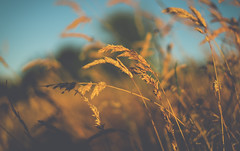 Golden (Steve Millward) Tags: bokeh nikon nikkor d750 50mm fx fullframe raw imagequality perspective interesting colour summer season scenic light mood moment golden field meadow