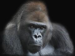 Silverback (Mel's Looking Glass) Tags: gorilla ape capybara silverback the hydrochoerus hydrochaeris