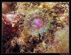 Anmone perle (Corynactis viridis) (cquintin) Tags: viridis cnidaria corynactis hexacorallia corallimorpharia corallimorphidae