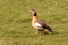HNS_0926 Nijlgans : Ouette d'Egypte : Alopochen aegyptiacus : Nilgans : Egyptian Goose
