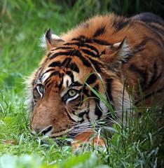 sumatran tiger blijdorp JN6A8934 (j.a.kok) Tags: blijdorp tijger tiger sumatraansetijger sumatrantiger pantheratigrissumatrea