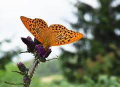Orange Butterfly - Oranger Schmetterling (Lala89_Photos) Tags: schmetterling butterfly orange nature natur insect insekt flgel wings schwarzwald blackforest black forest animal tier
