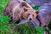 Bärenpark (Edi Bähler) Tags: braunbär hotpick pflanze brownbear plant nikond5 200400mmf4