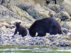 P1000721 (Tipfinder) Tags: kanada canada vancouverisland portalberni tofino ucluelet pacificrimnp long beach bearwhatching hotspringcove