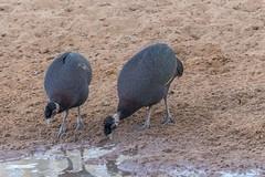 Crested Guineafowl_6833-20151020 (C&P_Pics) Tags: crestedguineafowl guineafowl kumasingahide mkuze pgc southafrica2015