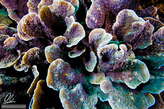 Corals and colors (Alessandro Cer) Tags: mangrove underwater bali lembongan joesgonediving cnidaria corals reef indonesia nusapenida id