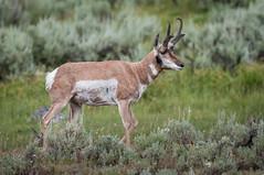 Pronghorn Antelope (HubbleColor {Zolt}) Tags: pronghornantelope wildlife yellowstonenationalpark travel wy wyoming unitedstates us