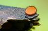 Scutellinia sp. (caberdoz) Tags: mushroom cils champignons orange