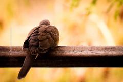 Sleepy Pigeon (faizalakbar) Tags: canon 7d eos pigeon single mark 2 ii qatar doha faizal mohammed madurai