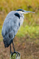 Great Blue in Bodega Bay (MelRoseJ) Tags: bodegabay california unitedstates nature sonyalpha sal70400g sony sonyilca77m2 a77ii autofocus alpha greatblueheron