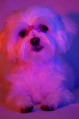 15798 - Disco-Kira (Diego Rosato) Tags: kira cani animali dogs pets animals luci lights red blue violet rosso blu viola nikon d700 85mm gimp kenko telconverter