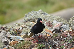 South Stack (shutcho1973) Tags: south stack lighthouse nature reserve anglesey cliff chough