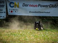 """i want the Ball.... ("""" Bernhard Witt """") Tags: sonyalpha850 tamron70200 australiansheppard dog"""