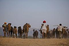 Pushkar Fair 2014 (www.harjeetsinghnarang.com) Tags: travel india tourism landscape rocks tourist camel camels rajasthan incredibleindia longestmoustache thepushkarfairpushkarcamelfairorlocallypushkarkamela andapartfrombuyingandsellingoflivestockithasbecomeanimportanttouristattractionanditshighlightshavebecomecompetitionssuchasthematkaphod andbridalcompetitionarethemaindrawsforthisfairwhichattractsthousandsoftouristsinrecentyearsthefairhasalsoincludedanexhibitioncricketmatchbetweenthelocalpushkarclubandateamofrandomforeigntouriststheimperialgazette mentionsanattendanceof100 000pilgrimsinearly1900s istheannualfivedaycamelandlivestockfair heldinthetownofpushkarinthestateofrajasthan indiaitisoneoftheworldslargestcamelfairs