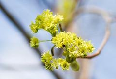 Spitzahorn (Acer platanoides) (blumenbiene) Tags: ahorn acer platanoides baum tree blätter leaves blüten flowers pollen frühling spring spitzahorn spitzblättriger norway maple