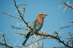 Lilac-breasted Roller (Hasselbach Photography) Tags: blue sky tree bird wildlife roller thorn namibia etosha lilacbreastedroller breastedroller d7000